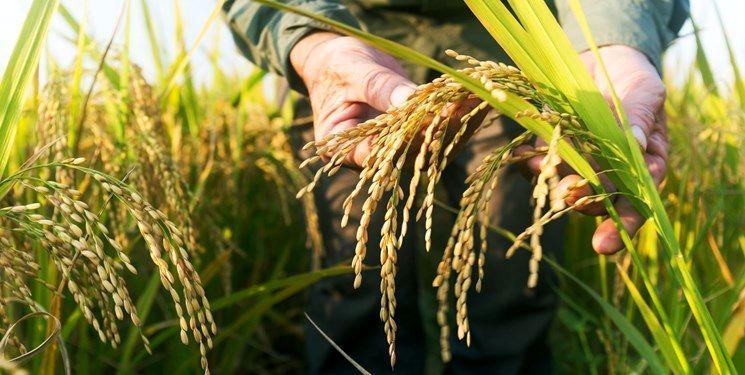 صادرات برنج خوزستان به عراق ممکن نیست